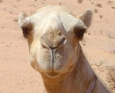 Photo Compliments of http://www.solarnavigator.net/animal_kingdom/animal_images/Camel_Jordanian_Desert.jpg