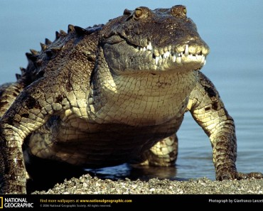 Photo courtesy of http://www.papermag.com/blogs/american-crocodile-emerging-water.jpg