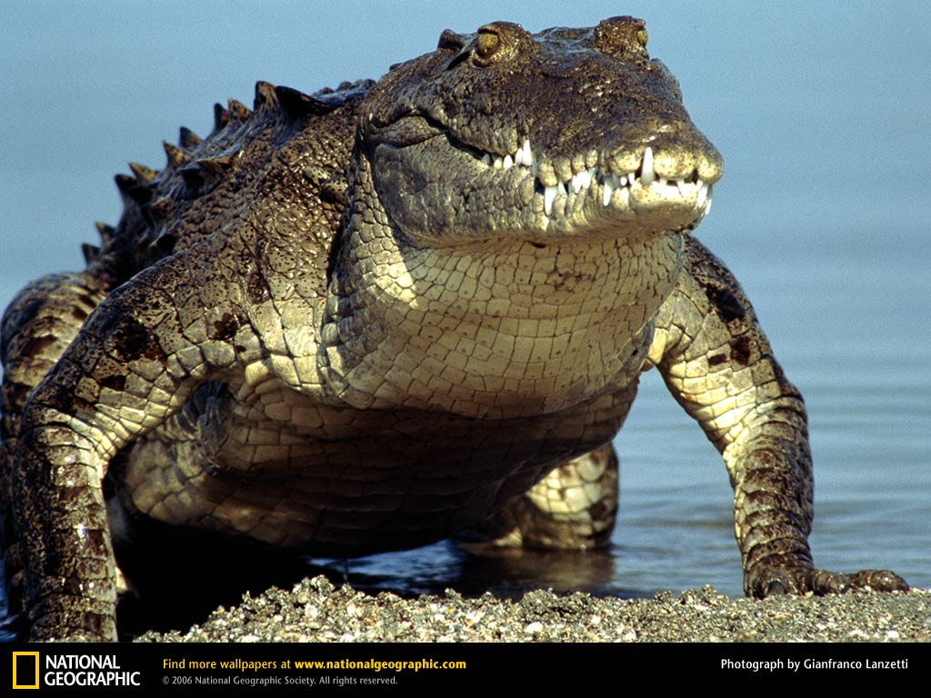 information about the american crocodile crocodylus acutus 2018-7-12 the american crocodile (c acutus) is found in fresh- and saltwater in s florida, the west indies, central america, and nw south america it does not attack humans without provocation the orinoco crocodile (c intermedius) is a freshwater species of the orinoco basin of colombia and venezuela two smaller species are.