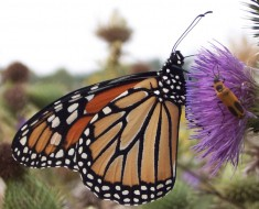 monarch_butterfly_010