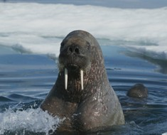 Photo compliments of http://static.howstuffworks.com/gif/walrus-sleep-without-drowning-2.jpg