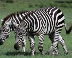 zebra-camo