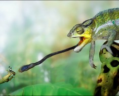 Photo compliments of http://animal.discovery.com/tv/a-list/creature-countdowns/cheats/images/cheats-chameleon.jpg