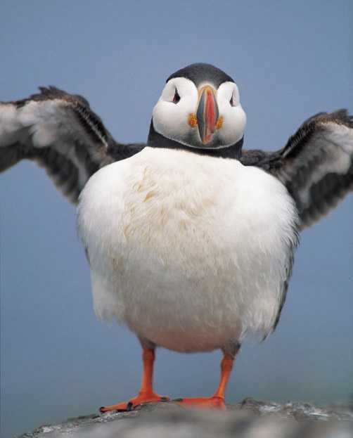 fluffin puffin - Animal Facts For Kids   Wild Facts