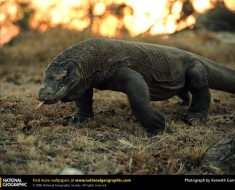 komodo-dragon1