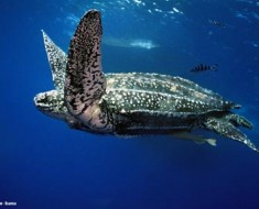 leatherback-underwater
