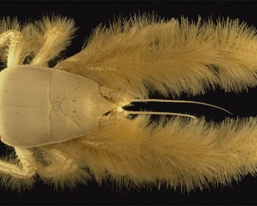 Newly Discovered Yeti Crab (Image: Ifremer/A. Fifis)