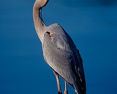 Photo by: Steven Pinker at http://pinker.wjh.harvard.edu/photos/Florida/pages/great%20blue%20heron.htm