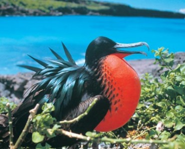9984-male-frigate-bird-m-v-santa-cruz-galapagos-ecuador