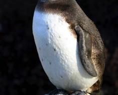 Galapagos penguin, Galapagos Islands. Photo: David Bate.