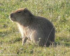 capybara-hydrochoerushydrochaeris
