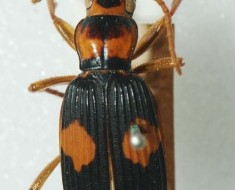 normal_Pheropsophus-verticalis