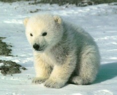 cute_polar_bear