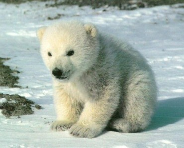 Polar Bear Facts Archives - Animal Facts For Kids   Wild Facts