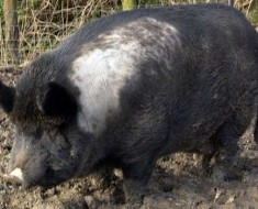 ironagepig