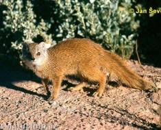 yellow-mongoose--cynictis-penicillata