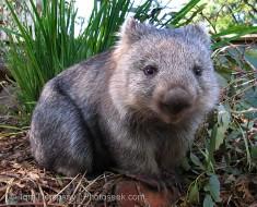 04aus-30201-wombat-large