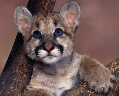 baby-blue-eyes-cougar-pictures