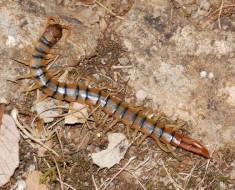 centipede3_large