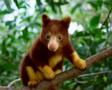 new-species-tree-kangaroo