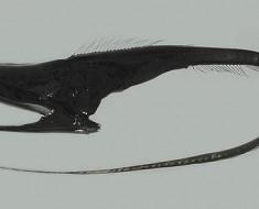 pelican-eel