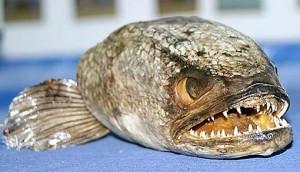 snakehead_fish