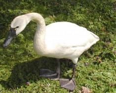 Tundra.swan.750pix