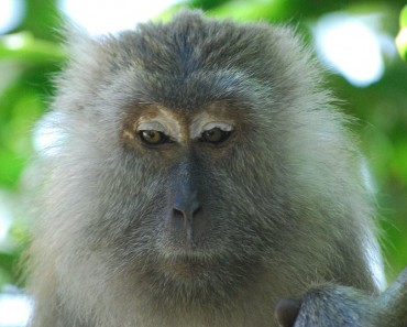 crab-eating_macaque5_large