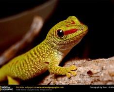 madagascar-gecko