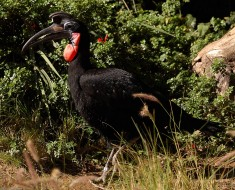 Abyssinian_Ground_Hornbill_HS1485