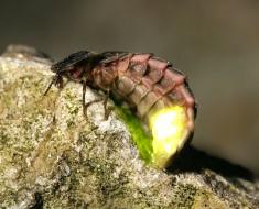 Glow-Worm-01