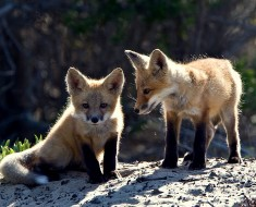 http://commons.wikimedia.org/wiki/File:Red_Fox_cubs.jpg