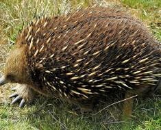Image from http://commons.wikimedia.org/wiki/File:Short-beaked_Echidna_Tasmania.jpg