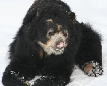 http://commons.wikimedia.org/wiki/File:Spectacled_Bear_-_Buffalo_Zoo.jpg