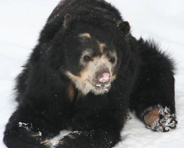 http://commons.wikimedia.org/wiki/File:Spectacled_Bear_-_Buffalo_Zoo.jpg