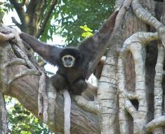 http://commons.wikimedia.org/wiki/File:White-handed_Gibbon.jpg