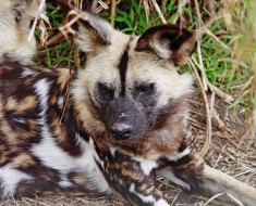 Photo Courtesy of Fir0002/Flagstaffotos. Copy of license can be found at http://commons.wikimedia.org/wiki/File:African_wild_dog_-_melbourne_zoo.jpg