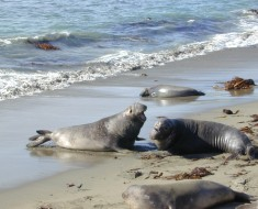 Source:  http://commons.wikimedia.org/wiki/File:Elephant_seal_fight_Part-2.jpg