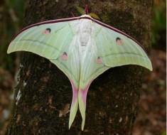 http://commons.wikimedia.org/wiki/File:Luna_moth.jpg