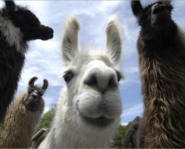 Strange Days Indeed News: Llama Spits On Police, Gets Tased