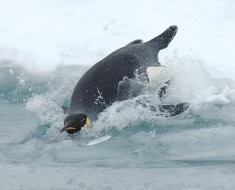 Diving Emperor Penguin - Photo by Glenn Grant, National Science Foundation