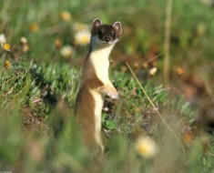 Least Weasel Checking Out Wild Facts - Anonymous Photo