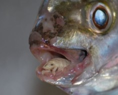 cymothoa_exigua_04_The_Tongue_Eating_Louse_is_a_gross_parasite_living_in_a_fishs_mouth-s640x480-21517-580