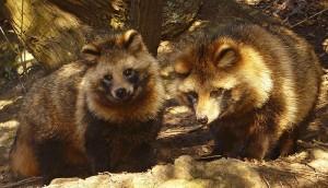 raccoon_dog3