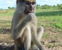Female Patas Monkey.  Photo by Rasfaya