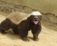honey badger   ratel 2