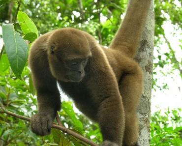 woolly_monkey1