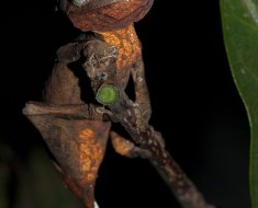 Leaf-Tailed Gecko - Photo from Wikicommons