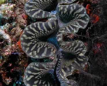 Giant Clam - Photo by Nick Hobgood (Wikimedia)