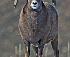 Bighorn Sheep - Photo by Alan D. Wilson (Wikimedia)
